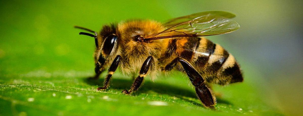 Quand les bourdons contrôlent la floraison des plantes qu'ils pollinisent!